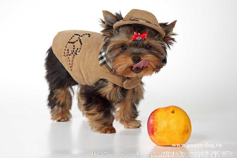 Opis Rasy Yorkshire Terrier Charakter Edukacja I Opieka Dla York
